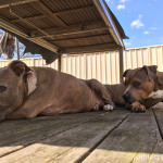 """The surly """"Amstaffs""""   (They're rescues, we don't know their history or what their parents were.)"""
