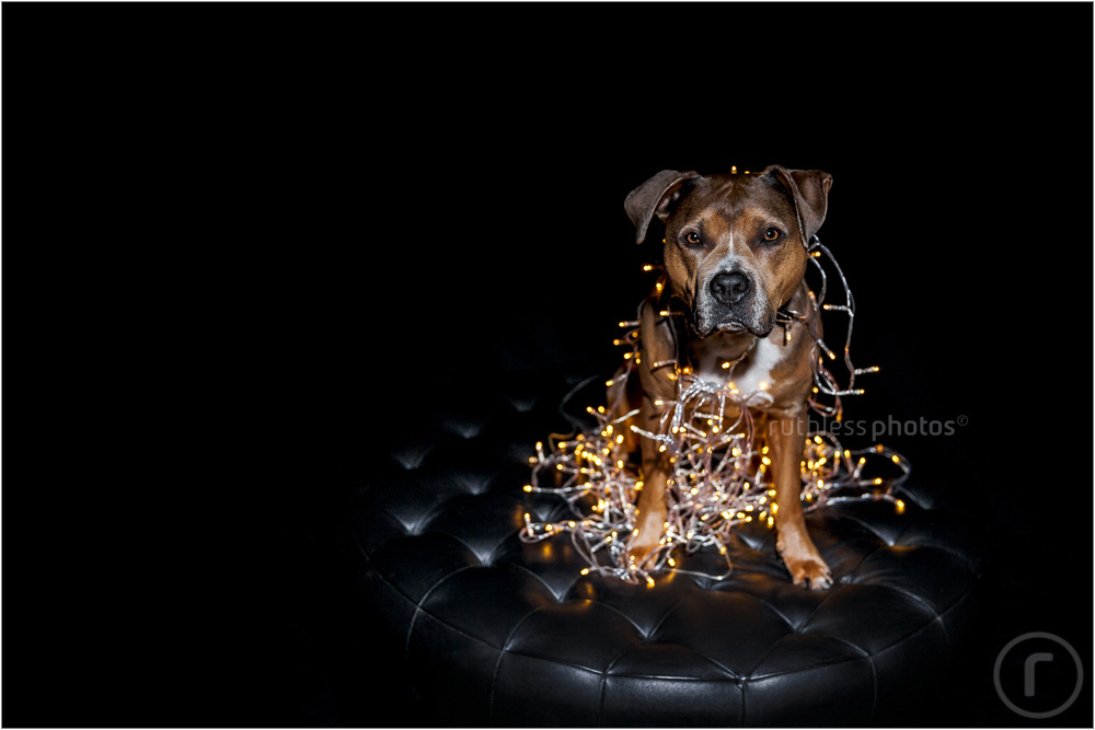bruno the dog wrapped in fairy lights christmas